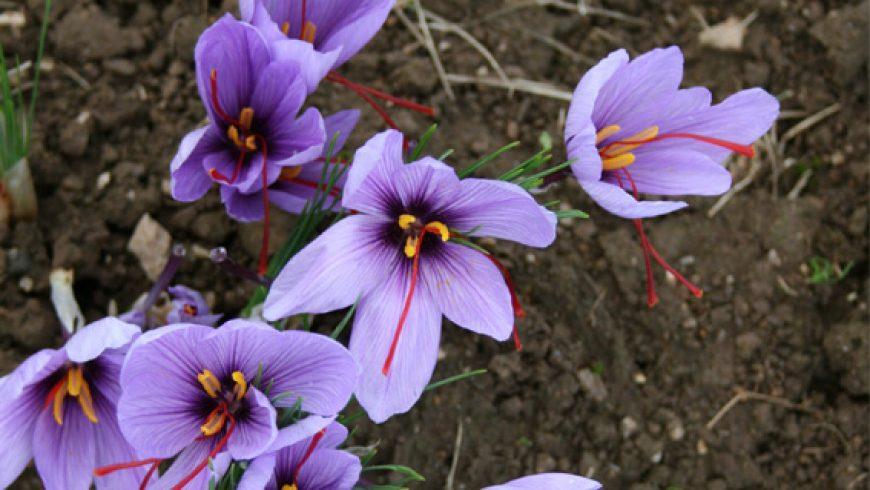 Les fleurs de safran bio et Bigouden sont de retour!