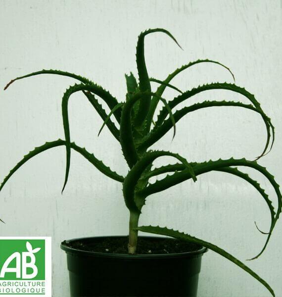 aloe-arborescens-2