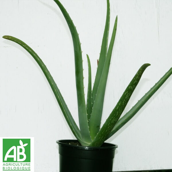 plants d 39 aloe vera bio 2 ans esprit safran et cie. Black Bedroom Furniture Sets. Home Design Ideas